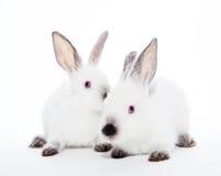 Deux lapins photographie stock