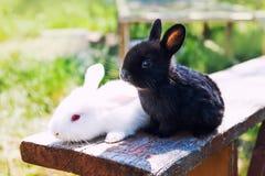 Deux lapins blancs noirs pelucheux Concept de lapin de Pâques plan rapproché, profondeur de champ, foyer sélectif Photos stock
