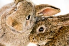 Deux lapins délicieux Photo libre de droits