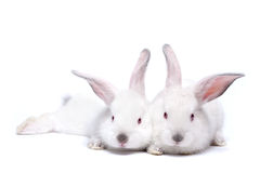 Deux lapins d'isolement blancs mignons de chéri photographie stock libre de droits