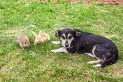 Deux lapins et chiens images stock
