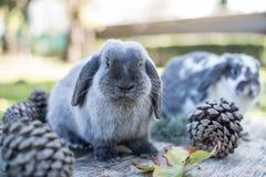 Deux lapins mignons choient la marche sur une table en bois avec l'outdoo de pins Photographie stock libre de droits