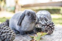 Deux lapins mignons choient la marche sur une table en bois avec l'outdoo de pins Image libre de droits