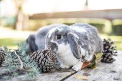 Deux lapins mignons choient la marche sur une table en bois avec l'outdoo de pins Photos libres de droits