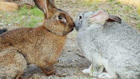 Deux lapins se trouvent sur l'herbe, tombent endormi sur l'un l'autre, saison d'accouplement banque de vidéos