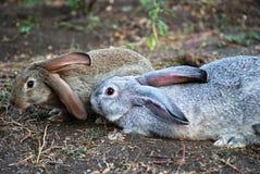 Deux lapins sur terre image libre de droits