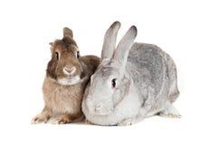 Deux lapins sur un fond blanc Photographie stock libre de droits