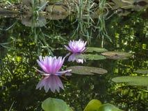 Deux le nénuphar rose Marliacea Rosea avec les pétales sensibles sont ouverts et reflétés dans un étang image stock