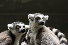 Deux lemurs Images libres de droits