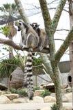 Deux lemurs Image libre de droits