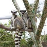 Deux lemurs Photographie stock