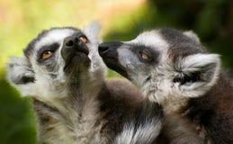 Deux lemurs suivis par boucle (catta de Lemur) Images libres de droits