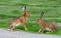 Deux lièvres bruns sauvages près d'un chemin de gravier Image libre de droits