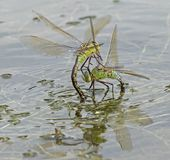 Deux libellules d'empereur combattant sur le lac de canotage au terrain communal de Southampton Photographie stock libre de droits