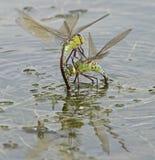 Deux libellules d'empereur combattant sur le lac de canotage au terrain communal de Southampton Image stock