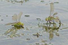 Deux libellules d'empereur sur l'eau Photographie stock