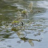 Deux libellules d'empereur sur le lac de canotage au terrain communal de Southampton Images stock