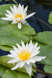 Deux lillies de l'eau blanche image stock