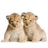 Deux lion Cubs image libre de droits