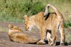 Deux lion Cubs Images libres de droits