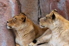 Deux lionnes recherchant Image libre de droits