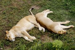 Deux lionnes se situent et ont un repos dans une herbe Images libres de droits