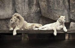 Deux lions Photos stock