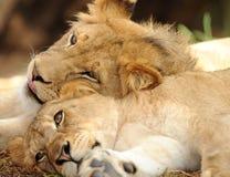 Deux lions africains juvéniles mâles se reposant ensemble Photographie stock libre de droits