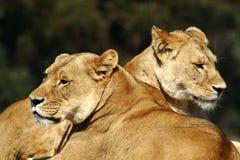 Deux lions femelles Photographie stock