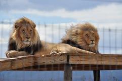 Deux lions sur un échafaudage, crinières dans le vent image libre de droits