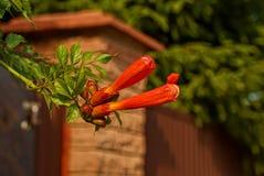 Deux longues fleurs exotiques rouges sur une branche d'arbre Photo stock