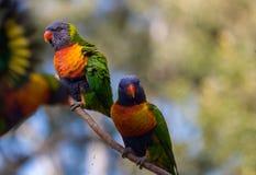 Deux lorikeets d'arc-en-ciel sur une branche comme tiers vole loin Photographie stock libre de droits
