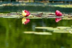 Deux Lotus blanc Image libre de droits