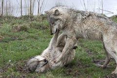Deux loups combattant par espièglerie Photographie stock