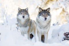 Deux loups dans la forêt froide d'hiver Image libre de droits