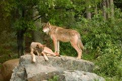 Deux loups de montagne rocheuse sur la roche Images libres de droits