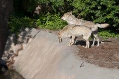 Deux loups restant dans la forêt Photographie stock libre de droits