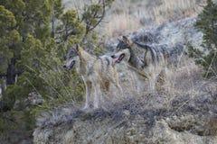 Deux loups se tenant dans l'herbe de prairie Photos libres de droits