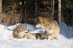 Deux loups, un dans agressif, dessus dans la position défensive Photographie stock