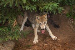 Deux lupus de Grey Wolf Pups Canis cabriolent sous l'arbre Photo stock