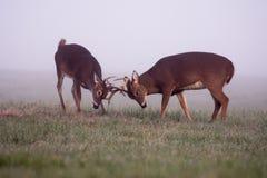 Deux mâles blanc-coupés la queue de cerfs communs en brouillard Photo stock