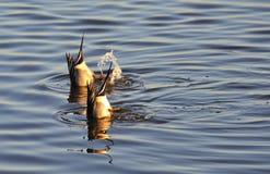 Deux mâles de canard pilet se retournant (acuta d'ana) Photographie stock