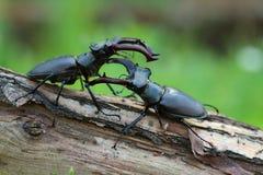 Deux mâles de cervus de Lucanus avant combat photographie stock