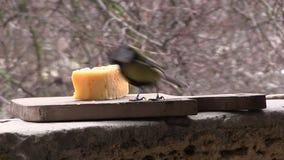 Deux mésanges mangent du fromage banque de vidéos