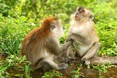 Deux Macaques Image libre de droits