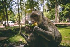 Deux macaques se reposant près des temples d'Angkor Vat au Cambodge images libres de droits