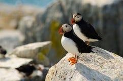 Deux macareux se tenant sur une roche photos libres de droits