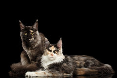 Deux Maine Coon Cats Lying, regardant in camera, noire images libres de droits