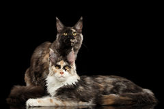 Deux Maine Coon Cats Lying, regardant in camera, noire photos stock