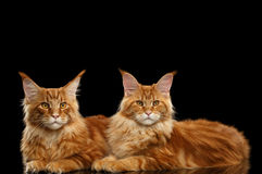 Deux Maine Coon Cats Lying rouge mignonne, fond noir d'isolement photo stock